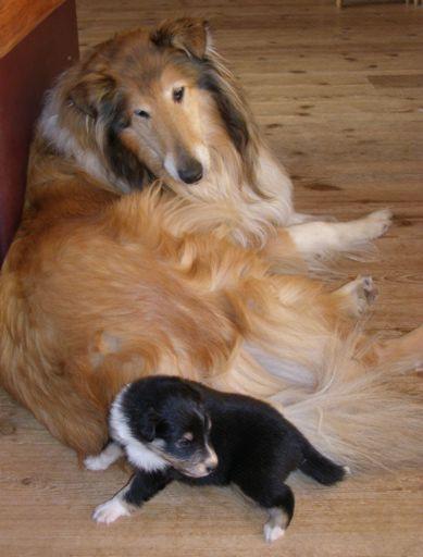 Rockhound's Chevkinite, 20 dager gammel, hos collien Foxy