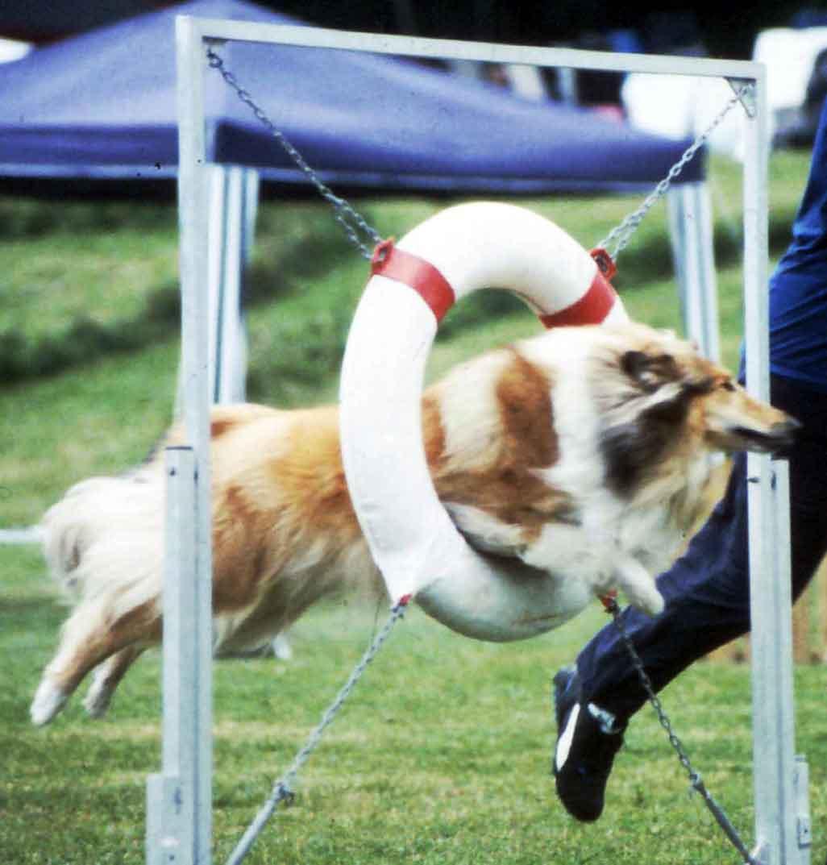Vår collie Foxy elsker agility! Klikk på bildet for mer info!